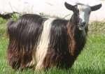 100% goats hair